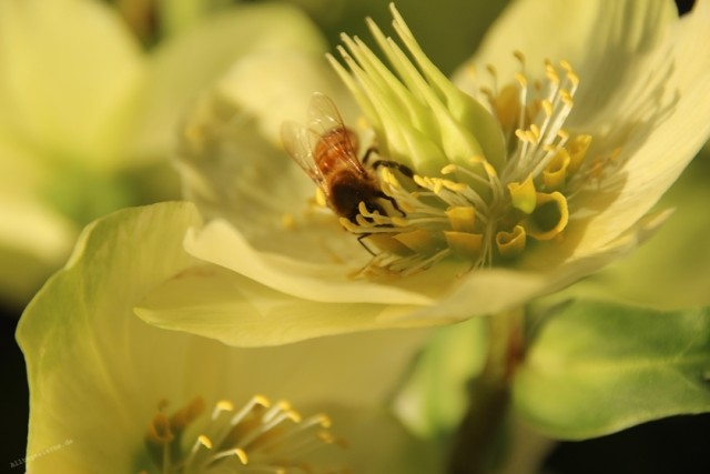 Alltagssterne-unterwegs-Rheydt-kurioses-Biene-Christrose